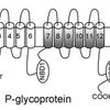 P-glycoprotein