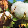 Cotton Production of Gossypium Hirsutum