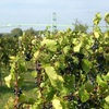 Cold Hardy Frontenac gris Vineyard