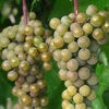 Cold Hardy La Crescent Grapes