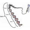 Zebrafish Gene