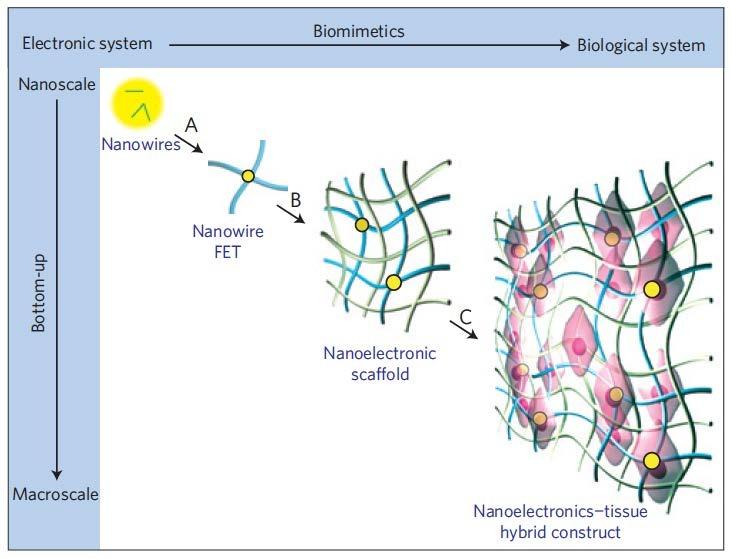 Three-dimensional (3D) Nanoelectronic Scaffolds (nanoES) for ...