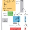 Microbial production of branched, medium chain alcohol 4-methyl-1-pentanol from glucose