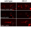 The hlh-3 mutant I4 cell adopts the pharyngeal muscle cell fate of its sister pm5. The mutant I4 cell expressed a pm5-specific reporter Pace-1::mCherry as well as pharyngeal muscle reporters Pmyo-2::mCherry::H2B and ceh-22::mCherry, none of which was expressed in wild-type I4 (boxes and insets).