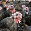 Avian Vaccines