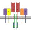 T-cell Receptor