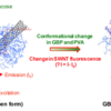SWNT modified with glucose binding protein and polyvinyl alcohol changes fluorescence in response to glucose binding.