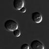S. cerevisiae Yeast