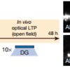 For in vivo optical LTP at EC–DG synapses, MEC/LEC and DG cells were injected with virus cocktails. On the right, the protocol for in vivo spine restoration of DG engram cells in AD mice. Images showing dendritic spines of DG engram cells after LTP (middle). A two-way analysis of variance (ANOVA) followed by Bonferroni posthoc tests revealed a spine density restoration in AD+100Hz mice (F1,211=7.21, P<0.01, 13,025 spines, n=4 mice per group; right). Dashed line represents control mice spine density (1.21)
