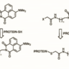 Dap(4-DMN) incorporated into compounds, such as 3 and 4, that can be used for the selective chemical modification of cysteine in intact peptides and proteins