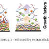 Scaffold releases growth factors after activation by extracellular matrix enzymes