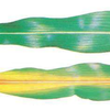 Nitrogen Deficiency in Corn
