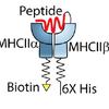 MHC Peptide
