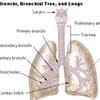 Trachea