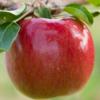 MN55 Apple