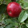 MN55 Apple Cultivar