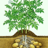Remote sensing of nitrogen status in potato crops