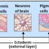 Epidermis, neurons, pigment cells