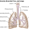 Trachea and bronchi