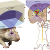 Transcranial-focused low-intensity ultrasound neuromodulation Attached to a Mouse
