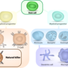 Stem cell differentiation cascade