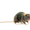 The first mouse model of FECD