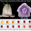 Nesocodon flower with red nectar and production of natural and synthetic colorants