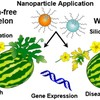 Schematic showing treatment of chitosan-coated mesoporous silica nanoparticles to improve plant health and disease suppression