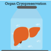 Cartoon of a liver cryopreserved in a jar