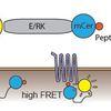 GPCR biosensor for use in giant plasma membrane vesicles.