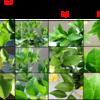Phytotoxicity test on Meyer lemon plants treated with 300ppm TSOL.