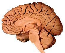 Human Brain Anatomy Software for Interactive Neuroanatomy Study